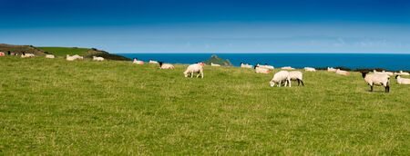 quin: Flock of sheep on a green meadow with the atlantic ocean in the background. Picture taken near Port Quin in northern Cornwall. Stock Photo