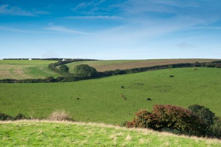 isaac: Cornish landscape with fields and meadows and a flock of cows near Port Isaac.