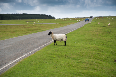 Sheep at the road on the abandoned runway at Davidstow Airfield in Cornwall. Stock Photo
