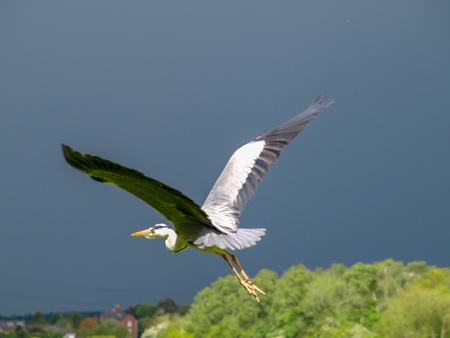 Grey heron flys near the Shropshire Union Canal in England.