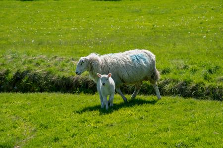 Sheep on a green meadow near Chirk Castle in Wales, UK. 版權商用圖片