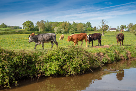 Canalside cattle at the Llangollen canal in Wales, UK. 写真素材