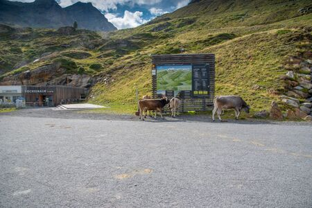 Kaunertal, AUSTRIA - August 13,2017: Cows study on information board on the 版權商用圖片 - 144178431