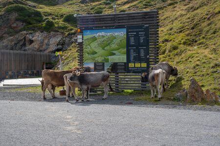 Kaunertal, AUSTRIA - August 13,2017: Cows study on information board on the 新聞圖片