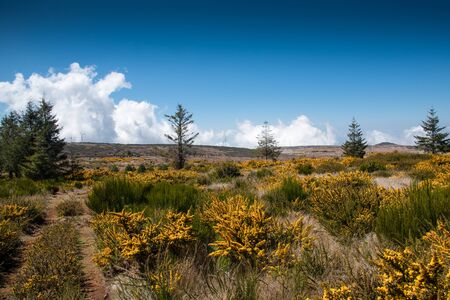 Blooming yellow genista on the plateau Paul da Serra on the island of Madeira in Portugal.