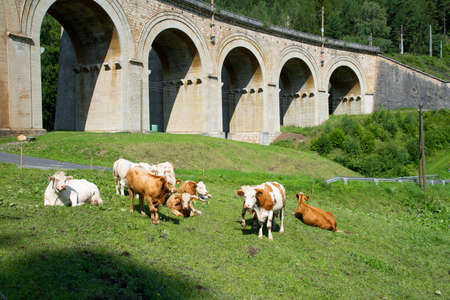 Cattel grazing near the viaduct over the Adlitzgraben on the Semmering Railway. 版權商用圖片