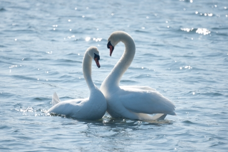 A swan couple in floating courtship  写真素材