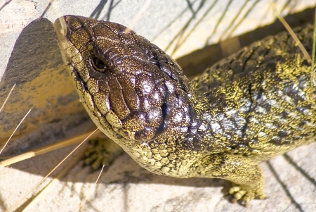 viviparous: A shingleback in closeup