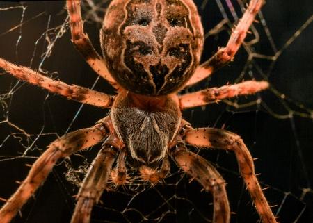 eight legged: A european garden spider in its web in a closeup macro shot