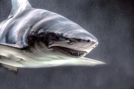 A closeup shot of an australian grey nurse shark