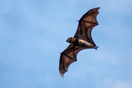 A grey-headed flying fox bat in flight, seen against the blue sky  写真素材