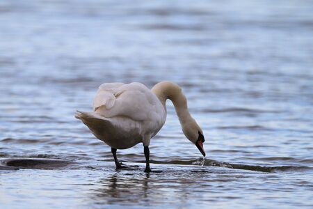 A mute swan drinking water in a peaceful setting  photo