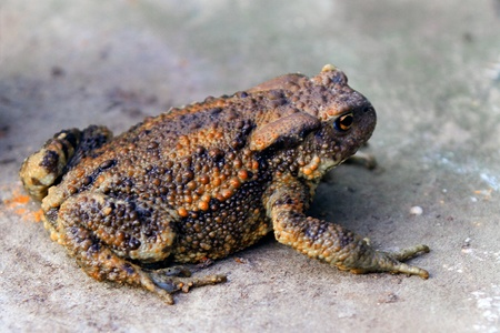 A closeup shot of a juvenile common toad  photo