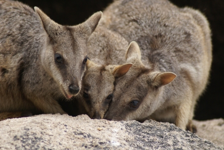 allied: A group of allied rock-wallabies getting their heads closely together, whilst eating behind a rock