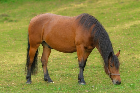 A brown horse grazing in a grassy field Imagens