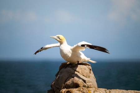 suliformes: A northern gannet in profile, with its wings spread sitting on a rock by the sea