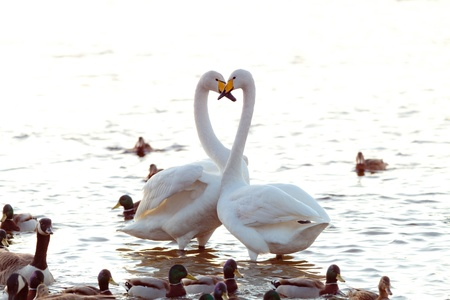 A whooper swan couple show eachother affection, ignoring the ducks and geese around them  photo