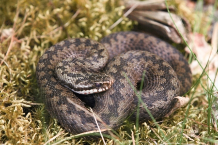 A curled up northern viper in closeup detail