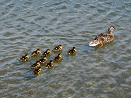 A mother mallard, swimming with her ducklings closely following