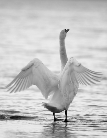 A swan seen from behind spreading its wings, represented in black and white  photo