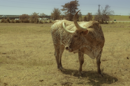 A texas longhorn in a field, seen in profile, looking to its right-hoof side  photo