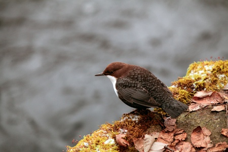 A closeup shot of a white-throated dipper on a mossy, leaf strewn rock  写真素材