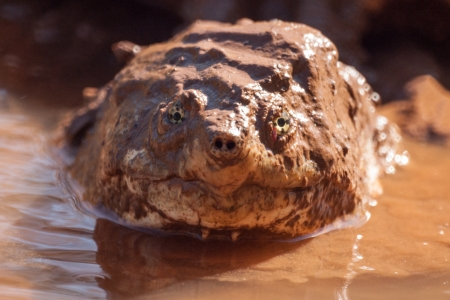 A closeup portrait of an american alligator snapping turtle, hiding in in muddy water