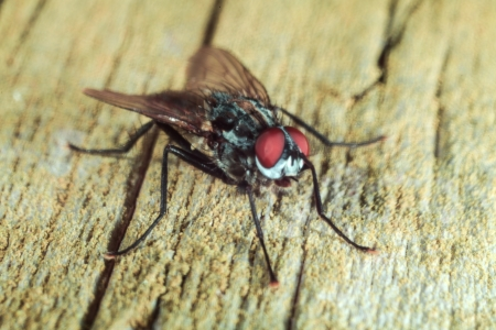 A closeup shot of a common housefly on a wooden table