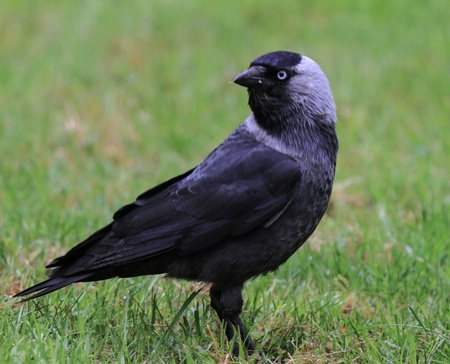monedula: A full body shot of a european jackdaw, standing on some green grass