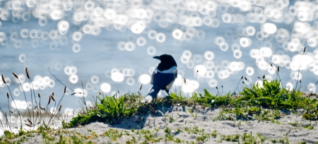 pica: A eurasian magpie standing in front of the shiny sea, on a white sanded beach
