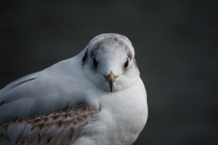 A closeup frontal portrait of a black-headed gull in winter shroud  photo