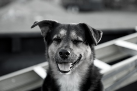A closeup portrait of a swiss mountain dog laughing in black and white
