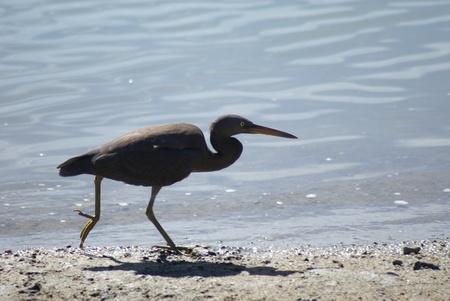 ardeidae: A pacific reef heron running along the beach line  Stock Photo