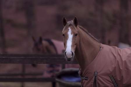 A closeup shot of a brown horse in a light magenta brownish colored horse blanket with a second horse in the background