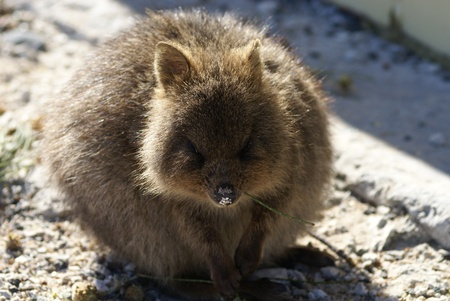 A closeup shot of a quokka with a sandy muzzle and a straw of grass in its mouth  photo