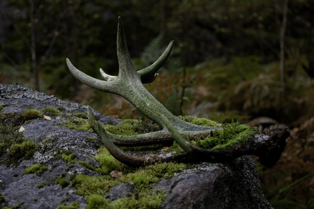 sexual selection: A set of shed antlers on a mossy rock out in the woods