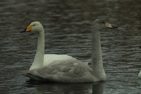 Two whooper swans forming the illusion of a viking ship through their formation  photo