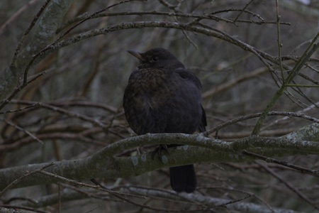 A chubby, common blackbird female sitting on a tree branch  photo