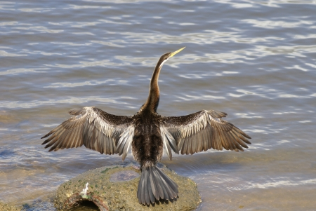suliformes: An australasian darter standing on a rock in the water, drying its wings or readying itself for a flight  Stock Photo