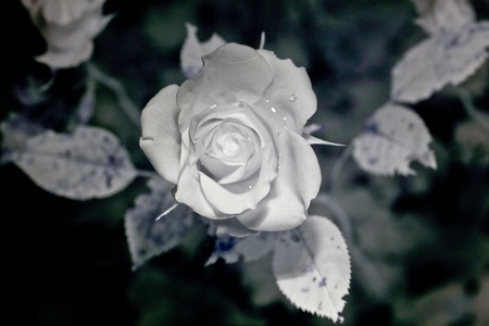 rosoideae: A closeup picture of a slighly wet rose in reflective ultraviolet with leaves in the background