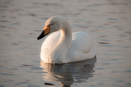 A portrait of a whooper swan in a pond  photo