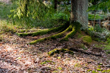 A tree with big, thick roots resembling fingers springing from the arm trunk  photo