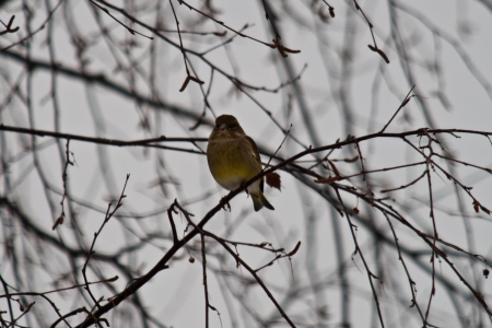 A willow warbler sitting on a naked tree branch  photo