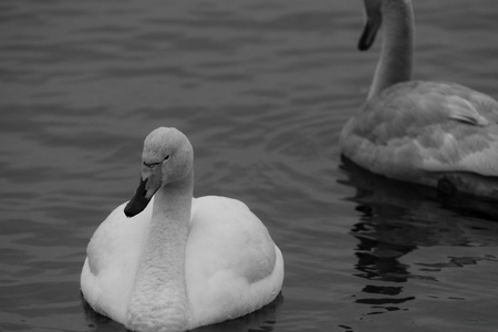 A black and white picture of a white wooper swan floating forwards, into the image and a gray one, the other way  photo