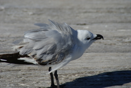A silver gull chick shaking its head and ruffling its wings  Stock Photo