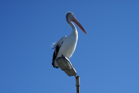 A male australian pelican sitting atop a lamp-post, spying out from this, his lookout tower Stock Photo - 22422031