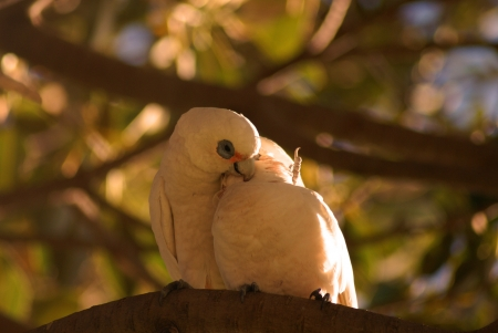 blood parrot: A little corella couple displaying their affection with a loving hug  Stock Photo