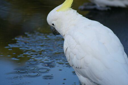 long lived: A sulphur-crested cockatoo sitting in front of a puddle of water, contemplating in the rain  Stock Photo