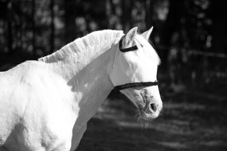 A profile picture of a white horse in a flyveil, represented in black and white