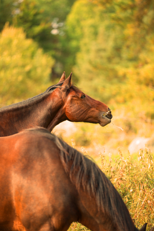 pastureland: A profile picture of two chestnut horses eating grass and hay, in a vibrant summery setting